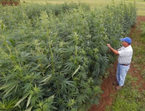 university-of-kentucky-hemp-crop